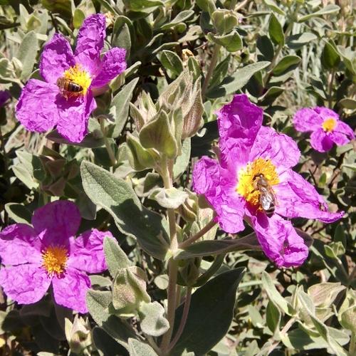 Pollen Frais de Ciste de Bormes et Mimosas et du Lavandou
