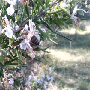 Miel de Romarin La Butinerie en Provence Boulet